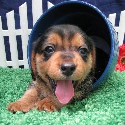 Queen Elizabeth Pocket Beagles Teacup Sized Beagle
