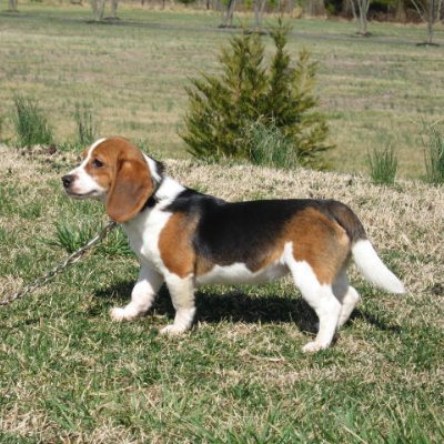Queen Elizabeth Pocket Beagles - QEPB Breed Standard