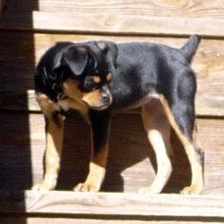 ... 20 images for rottiebear what are rottiebear to download what