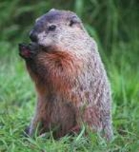 buffalo erie county new york groundhogs