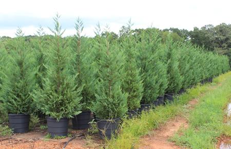 Christmas Tree Farm Atlanta