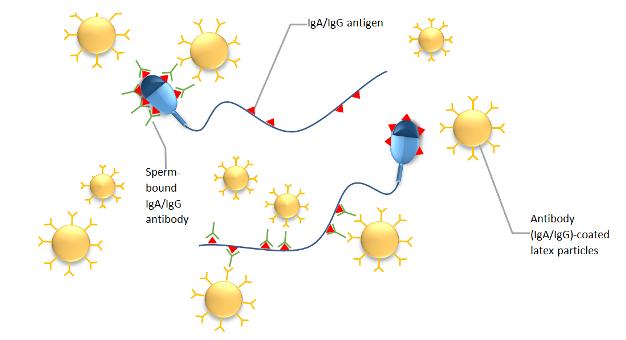 Antibodies In Sperm