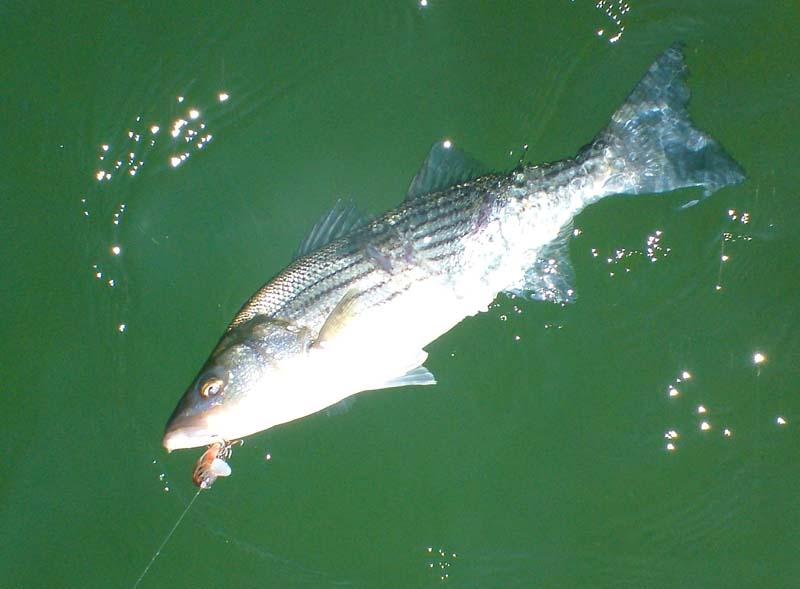 how to catch striped bass with lures