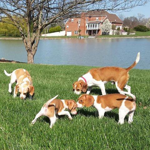 Sir Echo Beagles of Illinois