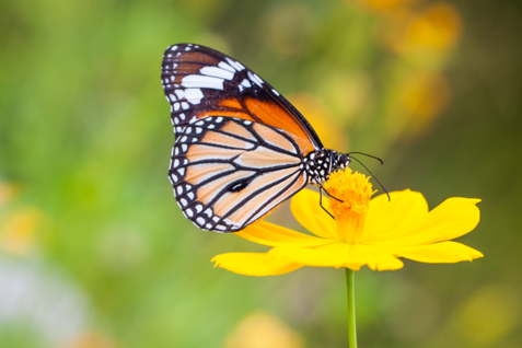 Bring The Butterflies To Your Backyard With Black Kow