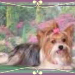 More Yorkie Info | MS Yorkies for Sale | MS Yorkie Puppies