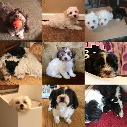 Joyful Havanese Puppies - Top NY Breeder Of Havanees Puppies