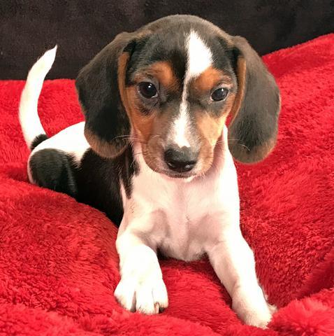 Queen Elizabeth Pocket Beagles We Have Pocket Beagle Puppies